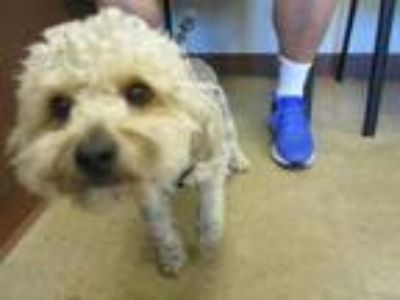 Adopt Sammy a Poodle, Mixed Breed