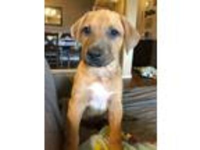 Adopt Thteven a Red/Golden/Orange/Chestnut - with Black German Shepherd Dog /