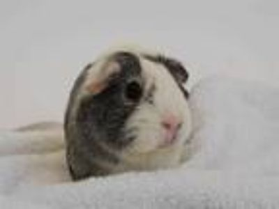 Adopt GALAXY a Silver or Gray Guinea Pig / Mixed small animal in St.