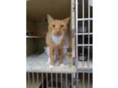 Adopt Maverick a Orange or Red Domestic Shorthair / Domestic Shorthair / Mixed