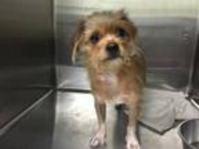 Adopt a Tan/Yellow/Fawn Cairn Terrier / Shih Tzu / Mixed dog in Tavares