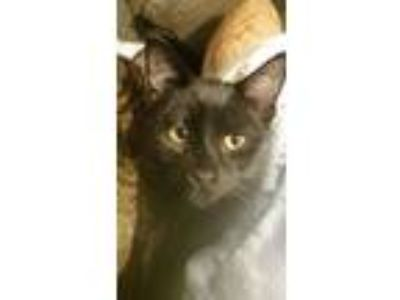 Adopt 9 1 1 a Domestic Short Hair