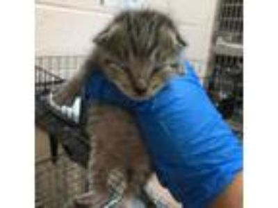 Adopt Emmy-84753 a Brown or Chocolate Domestic Shorthair cat in Las Cruces