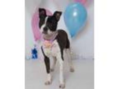 Adopt Mabel a Boston Terrier, Jack Russell Terrier