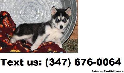 VIKIE B/G Alaskan Malamute Puppies For Sale