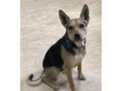 Adopt CHEVY a German Shepherd Dog, Australian Cattle Dog / Blue Heeler