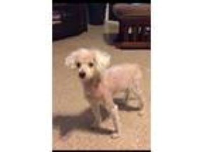 Adopt Jolly a Poodle