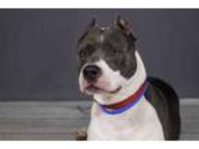 Adopt ARIES a Gray/Silver/Salt & Pepper - with White American Pit Bull Terrier /