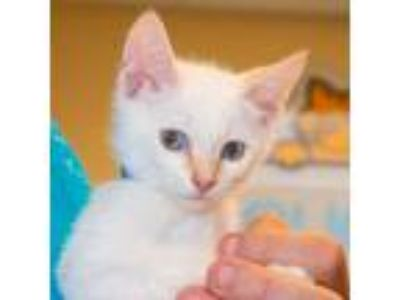 Adopt Iceland a Cream or Ivory Siamese / Mixed (short coat) cat in Maryville