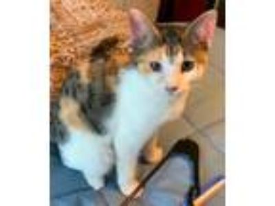 Adopt Delilah a Domestic Short Hair