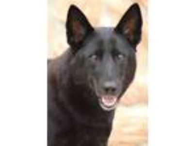 Adopt Jaden von Krempe a Black German Shepherd Dog / Mixed dog in Los Angeles