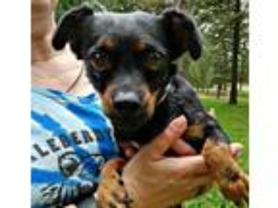 Adopt Sienna a Terrier (Unknown Type, Small) / Dachshund / Mixed dog in Thompson