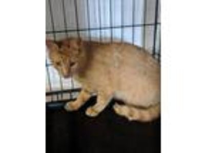 Adopt F32 a Domestic Short Hair