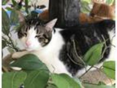 Adopt Louie a Domestic Short Hair
