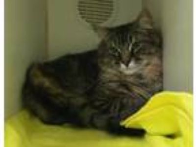 Adopt Lane a Brown or Chocolate Domestic Shorthair / Domestic Shorthair / Mixed