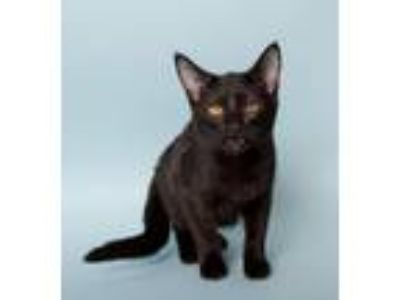 Adopt Perla a Domestic Short Hair