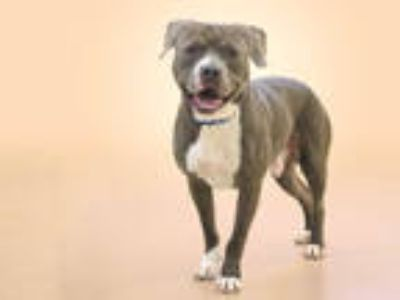 Adopt ROSCO a Gray/Silver/Salt & Pepper - with White American Pit Bull Terrier /