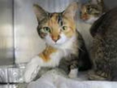Adopt Maxii a Domestic Shorthair / Mixed (short coat) cat in New York