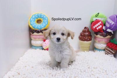 Maltipoo PUPPY FOR SALE ADN-95492 - Maltipoo  Happy  Female