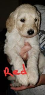 Double Doodle PUPPY FOR SALE ADN-88590 - F2B Double Doodle Goldendoodle and Labradoodle