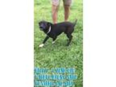 Adopt Billy a Labrador Retriever