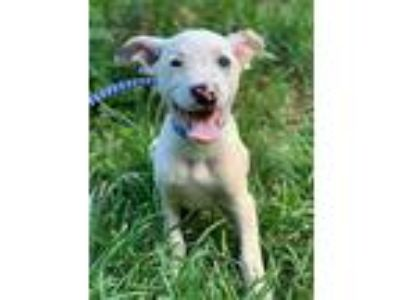 Adopt Darwin a White - with Black Australian Cattle Dog / Anatolian Shepherd /