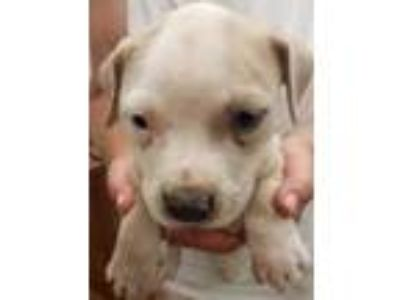 Adopt Tater a Tan/Yellow/Fawn American Pit Bull Terrier / Mixed dog in