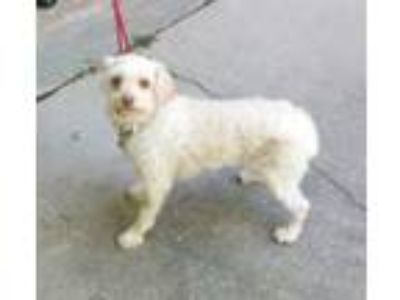 Adopt Mike a Poodle