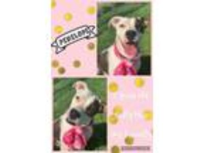 Adopt Penelope a Pit Bull Terrier, Mixed Breed