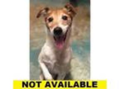 Adopt Buster a White Jack Russell Terrier / Mixed dog in Eugene, OR (25535603)