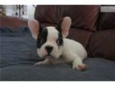 French Bulldog puppy male AKC [phone removed]