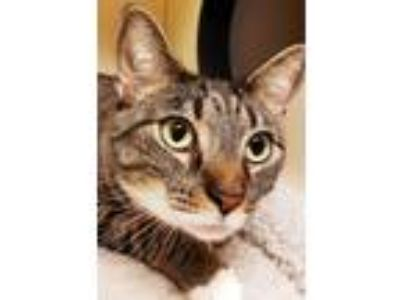 Adopt Pixie a Gray, Blue or Silver Tabby Domestic Shorthair (short coat) cat in