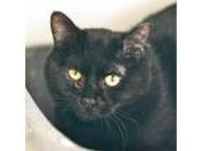 Adopt Heath a All Black Domestic Shorthair / Domestic Shorthair / Mixed cat in