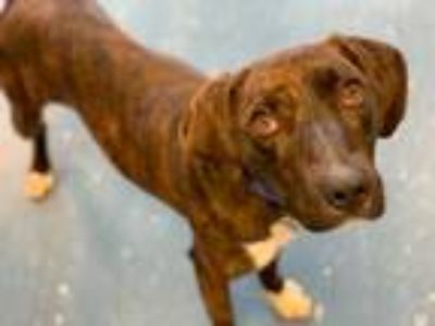 Adopt BUDDY a Brindle Boxer / Black Mouth Cur / Mixed dog in Hampton Bays