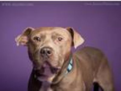 Adopt Steele a Pit Bull Terrier
