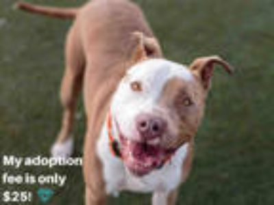 Adopt GIA a Brown/Chocolate - with White American Pit Bull Terrier / Mixed dog