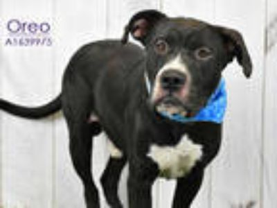 Adopt OREO a Black - with White American Pit Bull Terrier / Mixed dog in