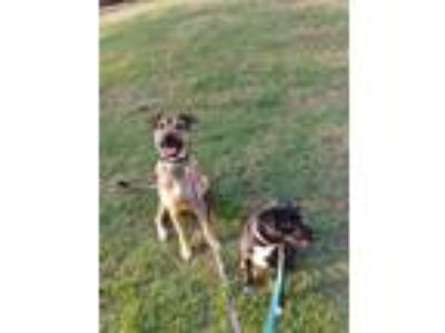 Adopt Baxter a Brown/Chocolate - with Black German Shepherd Dog / American Pit
