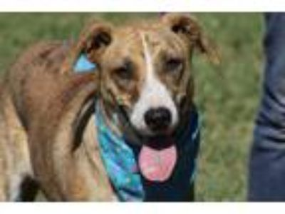 Adopt Maxi a Brindle - with White Shepherd (Unknown Type) / Mixed dog in La