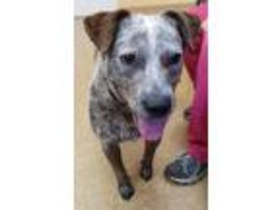 Adopt Bella a White - with Tan, Yellow or Fawn Australian Cattle Dog / Mixed dog