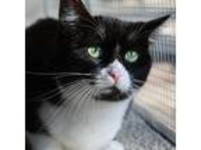 Adopt Violette a Black & White or Tuxedo Domestic Shorthair (short coat) cat in