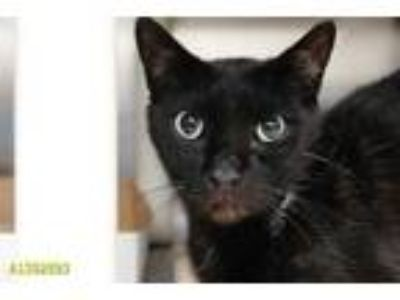 Adopt FIRE a All Black Domestic Shorthair / Mixed (short coat) cat in West Palm