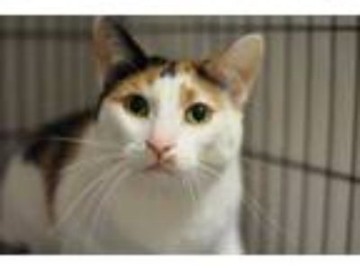 Adopt Charlotte a White Domestic Shorthair / Domestic Shorthair / Mixed cat in