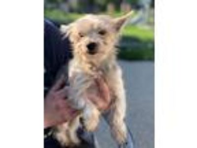 Adopt Stacey a Yorkshire Terrier
