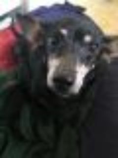 Pickles Dachshund Dog