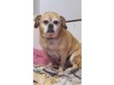 Adopt Bella a Tan/Yellow/Fawn Beagle / Pug / Mixed dog in Manalapan