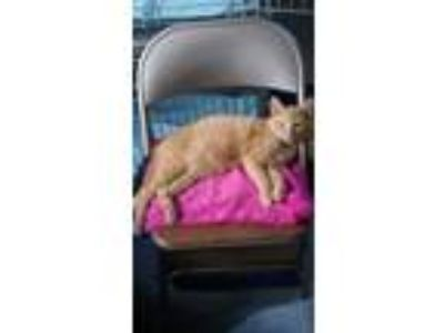 Adopt Grady a Domestic Short Hair