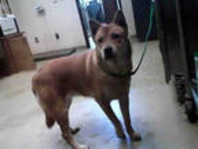 Adopt MIXIE a Brown/Chocolate German Shepherd Dog / Chow Chow / Mixed dog in