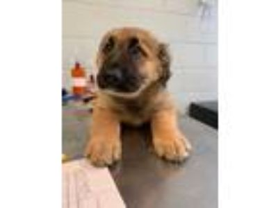 Adopt Lord Stanley_FTA ONLY a Tan/Yellow/Fawn Mixed Breed (Large) / Mixed dog in