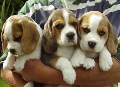 beautiful Beagle puppies for sale in our homes